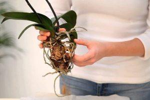 ¿Cómo replantar orquídeas?