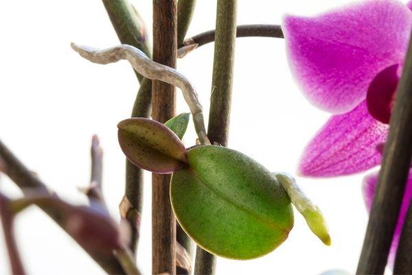 Como identificar keikis en una orquidea