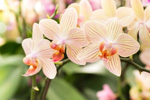 Flores de orquideas