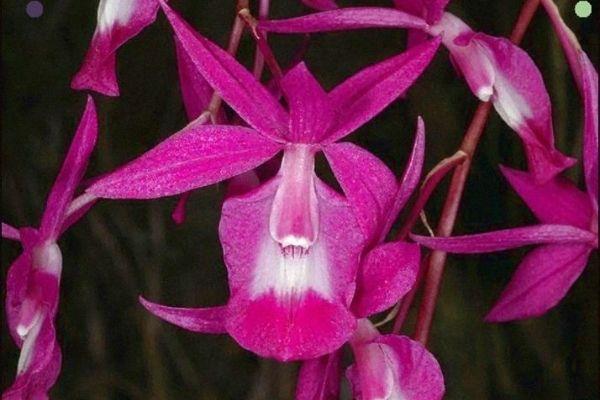 orquidea barkeira