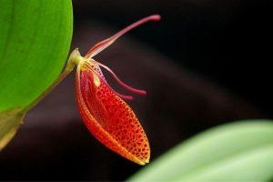 orquidea restrepia