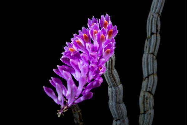 significado de las orquideas moradas o violetas