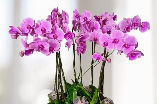 Orquidea Phalaenopsis rosada