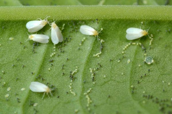 cuidado con las moscas blancas mis orquídeas