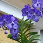 orquidea vanda azul