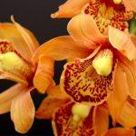 Orquideas naranjas