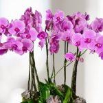 ¿Qué hacer cuando una orquídea pierde sus flores?