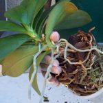 Cómo trasplantar una orquídea phalaenopsis correctamente.